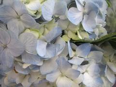 pale blue ~ 6 hydrangea (Upupa4me) Tags: flower detail petals hydrangea paleblue 365daysincolour