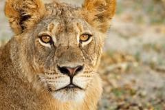 Young Lion (paulafrenchp) Tags: africa lion zimbabwe bigcats hwange