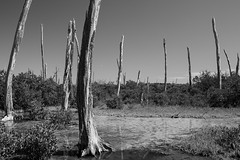 life and death (keunerr) Tags: life bw tree contrast forest mexico death arboles yucatan muerte bosque vida troncos lifeanddeath vidaymuerte deathforest