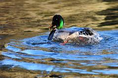 Dinky ducks ((Dinky Di)) Tags: lake bird wet duck waterproof fyvie
