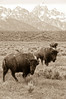 bisons, mountain (Rod the Rabid Rodent) Tags: deleteme5 deleteme8 mountain deleteme deleteme2 deleteme3 deleteme4 deleteme6 deleteme9 deleteme7 sepia deleteme10 tetons buffalos sagebrush bisons 3x2 saveme1 d90 18200mmf3556gvr 10to1 rtrr
