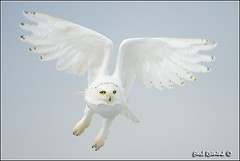 The lift off... (Earl Reinink) Tags: ontario canada art nature photography nikon flickr photographer image images owl earl flikr d4 art nikon photography images birds nature lens ontario canada ontbirds fine earl flight photographer owl snowy lenses niagara owl reinink reinink d4 niagara 201301210335