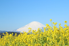 rape blossoms and Mt. Fuji. (cate) Tags: winter landscape scenery bluesky  mtfuji rapeblossoms   2013