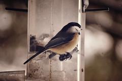 chickadee at feeder {one} (questionsofscience) Tags: trees winter snow bird nature birds nikon bokeh wildlife feeder chickadee snowing d3100 nikond3100