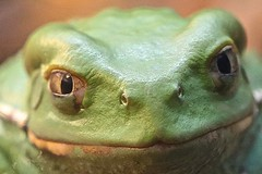 Waxy Monkey Tree Frog (Ron's Aquarium Photos) Tags: frogs amphibians waterplanetlifewithoutwater