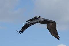 Pelicano (Kra Godinez) Tags: beach mexico mar nikon cancun nikkor pelicano 2013 55300 d7000 kragodinez