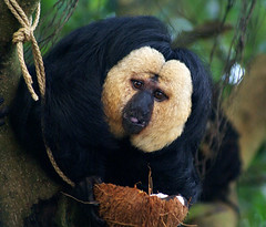 I visited an old friend today (Jaedde & Sis) Tags: male monkey coconut rope saki potofgold pitheciapithecia potofgold2 15challengeswinner a3b beginnerdigitalphotographychallengewinner beautifulworldchallenges bdpc herowinner ultraherowinner ispysweepwinner