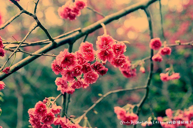 【櫻花】桃園復興.東眼山成福道路(桃119線)(美麗的山櫻花)