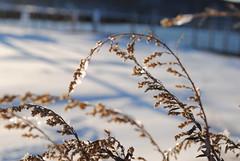 Icy (Paige Moran Photography) Tags: snow ice beach reeds bay nemo snowstorm icy beachgrass