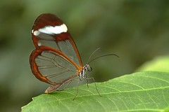 Glasswinged butterfly (Rene Mensen) Tags: orange white green glass butterfly zoo leaf nikon thenetherlands lepidoptera transparent mariposa wit greta drenthe schmetterlinge emmen oto dierentuin transparant    glasswinged glasvleugel d5100