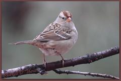 White-crowned Sparrow - Juvenile (ctofcsco) Tags: usa bird nature america canon colorado unitedstates bokeh wildlife united explore telephoto ii springs coloradosprings co northamerica states usm 400mm f28l 50d specanimal ef400mm ef400mmf28liiusm allofnatureswildlifelevel1