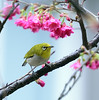 F_DSC1956-綠繡眼-Zosterops japonica-Japanese White-eye-櫻花-Cherry Blossom-羽-Feather-翼-Wings-台北市-Taipei City-台灣-Taiwan-中華民國-Rep of China-Nikon D800E-Nikkor 70-200mm-May Lee 廖藹淳 (May-margy) Tags: wings feather taiwan cherryblossom 台灣 japanesewhiteeye taipeicity 櫻花 台北市 中華民國 羽 翼 zosteropsjaponica 綠繡眼 nikkor70200mm repofchina maymargy nikond800e maylee廖藹淳