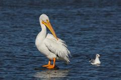 Posing Pelican and Gull (TexasEagle) Tags: dallas texas gull pelican whiterocklake ringbilledgull larusdelawarensis americanwhitepelican pelecanuserythrorhynchos sunsetbay beautifulworldchallenges