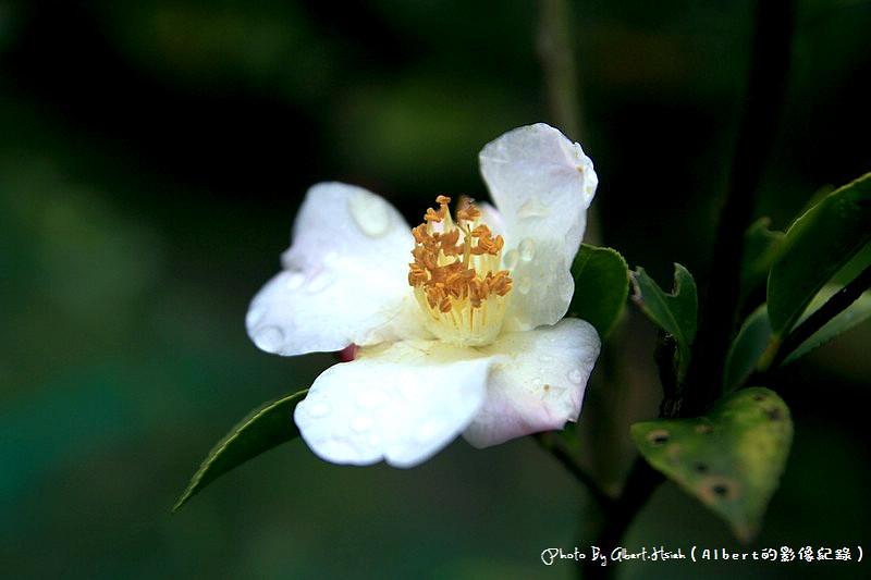 【茶花】桃園大溪.大溪茶花園(各式各樣的美麗茶花)