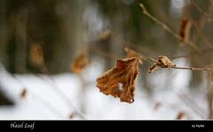 Hazel Leaf (Nyllet) Tags: winter leaves leaf bokeh hazel twigs meyeroptikgrlitztrioplan5029