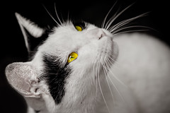 .~ ~ Milk ~. (Fu-yi) Tags: bw white black cute animal yellow zeiss cat milk mix sony taiwan carl taipei lovely alpha dslr    mammalia   135mm       formosan   shuanglian felidae     impressedbeauty  catnipaddicts bestcapturesaoi  photographyforrecreation  mrtshuanglian