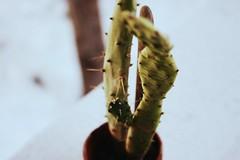 Cacti (melanieclarkk) Tags: winter cactus plant green nature cacti canon focus sharp 365 thorns needles mothernature
