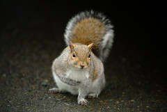 I Pledge Allegiance (Paul T. Marsh/PositivePaul) Tags: color animal squirrel funny olympia nisquallywildliferefuge supertelephoto 2013 animalbehavior fujis3pro lightroom3 wwwpaulmphotographycom paulmarshphotography nikon400mmf35ais