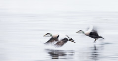 Speedbirds..........(Explored, my 111th) (Pewald) Tags: winter sea blur bird nature water norway wildlife takeoff longshutterspeed commoneider straumen bestcapturesaoi elitegalleryaoi