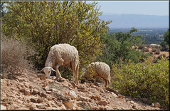 sheep of the Souss valley (mhobl) Tags: sheep morocco maroc marokko schafe taroudant souss schafeziegen