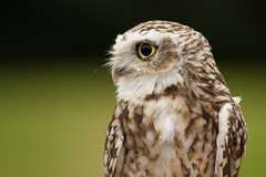 Looking Back (Baggers 2014) Tags: cambridge cute eyes pretty bokeh smooth thoughtful tiny wise burrowingowl twotone wiseowl raptorcentre