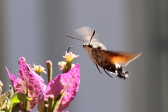 Hummingbird Hawkmoth, Orebic, Croatia (Andy_Hartley) Tags: rememberthatmomentlevel1 rememberthatmomentlevel2 rememberthatmomentlevel3