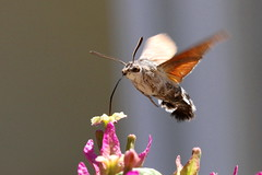 Hummingbird Hawkmoth, Orebic, Croatia  {Explore - 21/02/2013 - #1} (Andy_Hartley) Tags: mygearandme mygearandmepremium