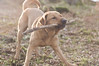 cody (Kayleigh McCallum) Tags: uk boy red dog pets cute nature animal photography scotland nikon labrador cody mammals 2013 foxredlabrador