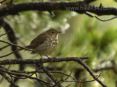 """Hermit Thrush • <a style=""""font-size:0.8em;"""" href=""""http://www.flickr.com/photos/63501323@N07/8503664461/"""" target=""""_blank"""">View on Flickr</a>"""
