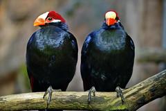 Schildturako (Michael Döring - thx for 20.000.000 views) Tags: zoo bismarck gelsenkirchen d800 zoomerlebniswelt afs70200 michaeldöring schildturako