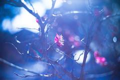 Here Comes the Sun (moaan) Tags: life leica sun sunlight sunshine 50mm spring dof blossom bokeh dr summicron utata blossoming february ume m9 japaneseapricot f20 umeblossom 2013 inlife leicasummicron50mmf20dr leicam9