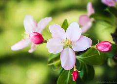 waiting for spring (explored) (Vicki Maher Thank you for 200,000 views!) Tags: flower nature canon illinois spring bokeh flowering cherryblossoms cherrytree flowerbud lilacbush