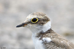 (Explored) Little Ringed Plover Closeup (kengoh8888) Tags: wild blackandwhite bird water pentax background low ground clean shore level plover ringed k5 ttle