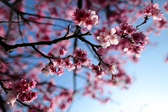 ~ SAKURA cherry blossoms ~ (PS~~) Tags: travel pink light white plant flower tree composition canon spring bokeh taiwan bluesky zen bloom sakura cherryblossoms taipei    pure