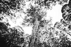 LIU_2493 (louistop()) Tags: green nature water creek canon louis landscapes liu rocks australia western cs pemberton lr  lightroom 1635 potoshop  5d3 5dmarkiii westernaustraliagreat louistop