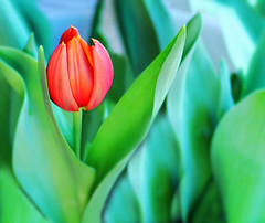 Tulipn (conchita2010) Tags: red flower verde green march rojo marzo tulipnflor