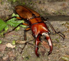Stag Beetle (Lucanus) (cowyeow) Tags: china road macro nature bronze forest bug insect asian asia stag beetle chinese taiwan insects bugs sharp glossy beetles taiwanese pincers stagbeetle coleoptera  lucanus baling lalamountain
