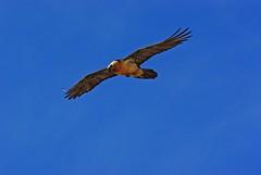 Le gypate barbu (Seix/Arige/Pyrnes) (PierreG_09) Tags: montagne oiseau pyrnes pirineos faune arige se