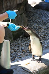 Feeding Penguin (Ardy Hadinata Kurniawan) Tags: columbus ohio canon zoo penguin feeding feed canon40d canon1585