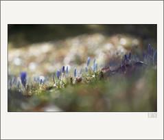 _DSC8365 (Weinstckle) Tags: licht pflanze blume blte krokus frhling gegenlicht knospe frhlingswiese