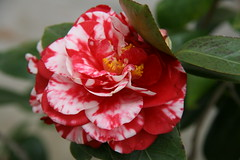 Camelia (reed photo) Tags: