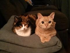 Sidler (Jimmy Legs) Tags: street orange cats female tabby bushwick effie flossie adoptable