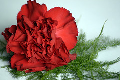 Talbot Carnation (Lauren Louise Vipond) Tags: red flower carnation buttonhole redflower redcarnation