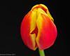 Tulip (David S Wilson) Tags: flower floral tulip nikon1 davidswilson ft1adaptor 40mmf28glens