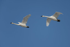 Swans_44048.jpg (Mully410 * Images) Tags: bird birds swan birding birdsinflight birdwatching birder trumpeterswan burdr mrvnwr minnesotarivervalleynationalwildliferefuge
