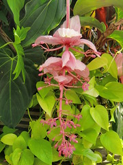 Medinilla Magnifica- rose grape flower from the Philipines (rosaliamarteaga17) Tags: sanfrancisco california goldengatepark flowers flores nature northerncalifornia group sanfranciscoconservatoryofflowers finegold floralfantasy floraandfaunaoftheworld amazingdetails passionforflowerslevel1red passionforflowerslevel2yellow