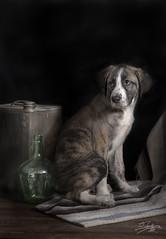 dana (silversaltphoto) Tags: dog chien studio amigo nikon friend can perro ami cachorro canino navarra puppie sadows senosiain mastin d700 silversaltphoto