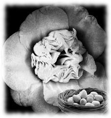"Buona Pasqua ! (wallace39 "" mud and glory "") Tags: flowers bw easter pascua bn huevos pscoa eggs fiori ostern gardenia pasqua pques uova"