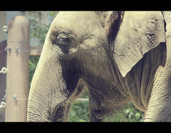 Asian elephant in Ueno (Japan) (Shanti Basauri) Tags: elephant nature animal japan asian zoo tokyo asia ueno zoolgico kanto maximus elefante asiatic tokio asitico japn japonia elephas onshi  piztiak  dbutsuen