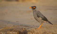 Bank Mynah (Acridotheres ginginianus) (Mike Barth) Tags: bank mynah acridotheres ginginianus